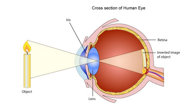 eye_xsection_01